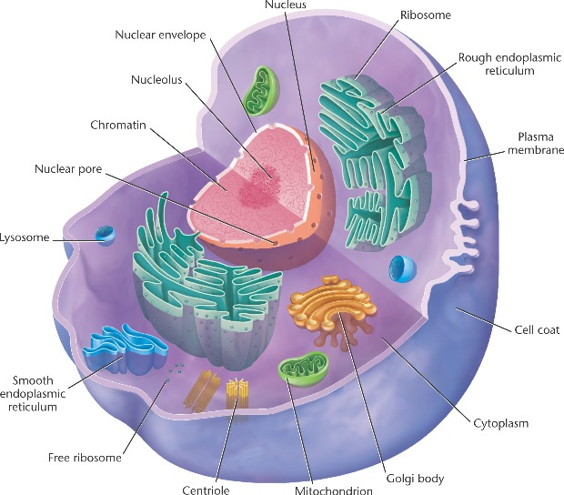 An eukaryotes cell such as an animal cell has several membrane bound