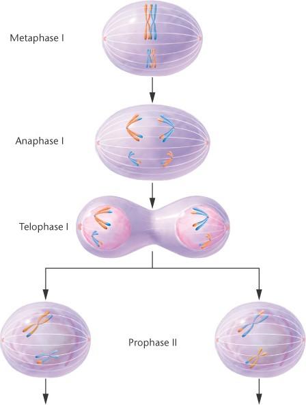 meiosis vs mitosis. meiosis vs mitosis. meiosis vs mitosis. meiosis vs mitosis.