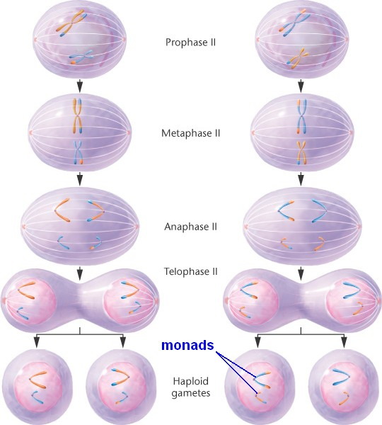 diagrammatic differences between mitosis and meiosis