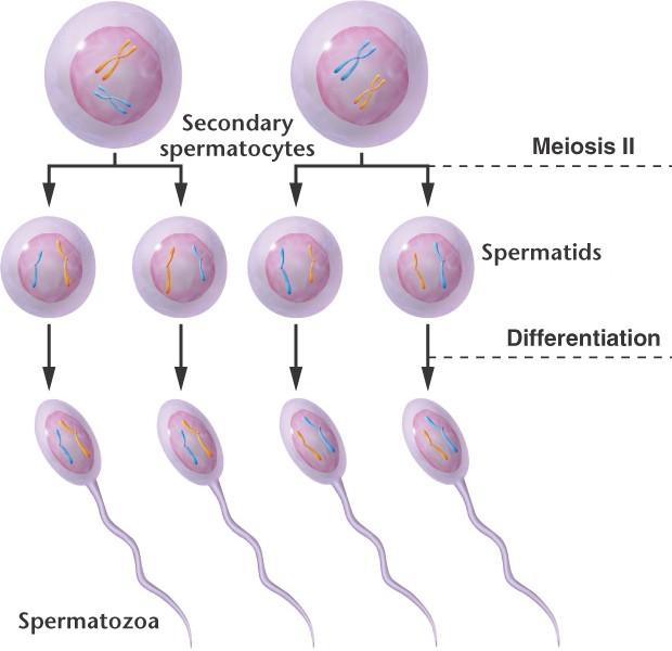 spermatotsit-i-poryadka
