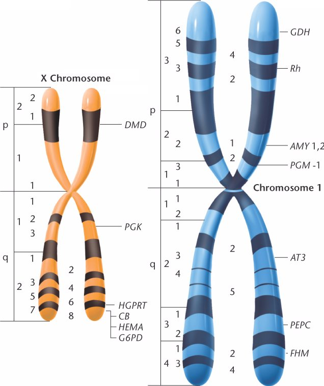 an organism is heterozygous at two genetic loci on different chromosomes Has two sets of homologous chromosomes making the organism either homozygous or heterozygous for a pea has gene loci for shape and color on different.