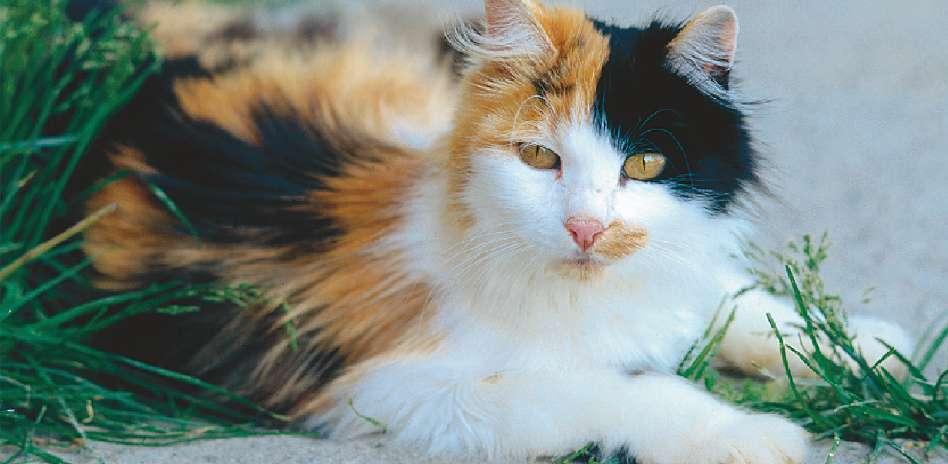 07_11a-Calico_cat.jpg
