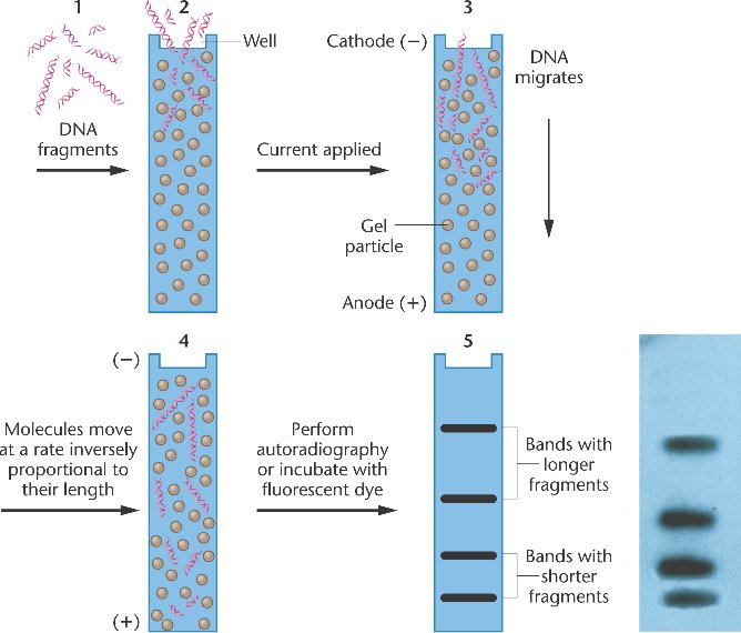 an analysis of the process of dna electrophoreses Eric fairfield is a private researcher who uses gel electrophoresis for separation of dna the bands of dna created through this process will have a pattern.