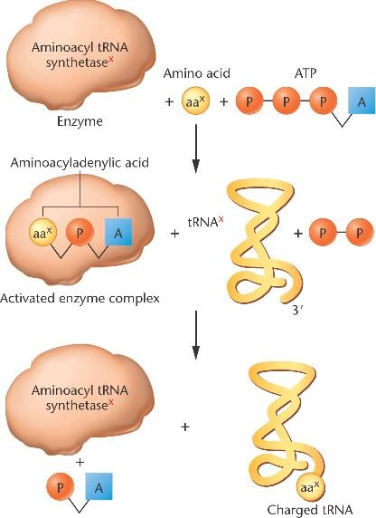 aminoacyl trna synthetase - photo #14